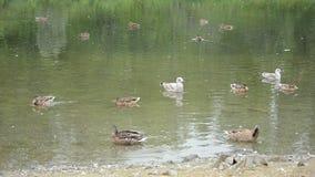 美丽的野鸭鸭子和鸥在温暖的秋天在北挪威筑成池塘 股票录像