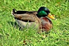 美丽的野鸭 库存图片
