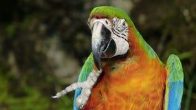 美丽的金刚鹦鹉在动物园里 免版税库存照片