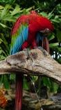 美丽的金刚鹦鹉在动物园里 库存图片