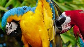 美丽的金刚鹦鹉在动物园里 免版税库存图片