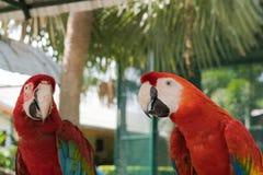 美丽的金刚鹦鹉鸟两朋友在公园,鹦鹉 图库摄影