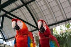 美丽的金刚鹦鹉鸟两朋友在公园,鹦鹉 免版税库存图片