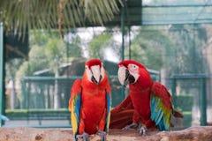 美丽的金刚鹦鹉鸟两朋友在公园,鹦鹉 免版税库存照片
