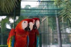 美丽的金刚鹦鹉鸟两朋友在公园,鹦鹉 库存图片