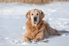 美丽的金毛猎犬咬棍子 库存图片