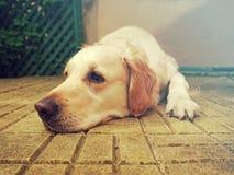 美丽的金毛猎犬画象 免版税图库摄影