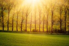 美丽的金黄树 库存图片