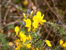 黄色小�{�p_美丽的金黄黄色小金雀花笤帚花蕾开花 免版税库存照片