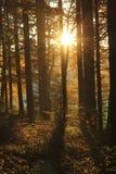 美丽的金黄太阳在日落的森林里 免版税图库摄影