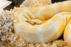 美丽的金黄黄色Python蛇 免版税图库摄影