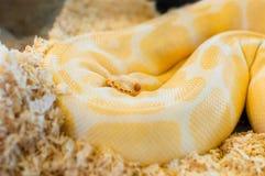 美丽的金黄黄色Python蛇 免版税库存图片