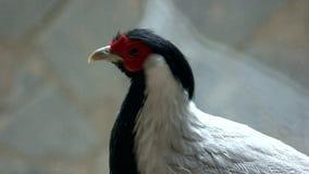 美丽的银色野鸡接近的画象  影视素材