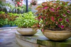 美丽的锦紫苏种植盆 免版税图库摄影