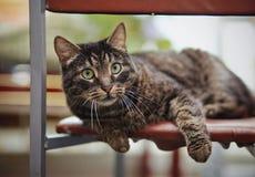 美丽的镶边猫在椅子说谎 免版税图库摄影