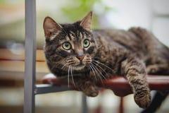 美丽的镶边猫在椅子说谎 免版税库存照片
