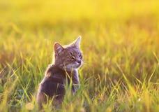 美丽的镶边猫在绿草坐一个晴朗的草甸 库存照片