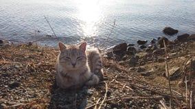 美丽的镶边猫坐一个多岩石的海滩 股票录像