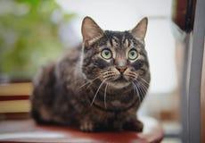 美丽的镶边猫坐椅子 库存图片
