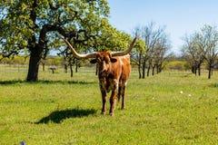 美丽的长角牛公牛 库存照片