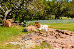 美丽的长角牛小牛 免版税库存图片