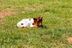 美丽的长角牛小牛 库存图片