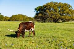美丽的长角牛母牛 免版税库存照片