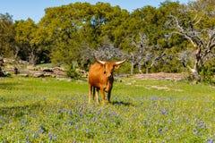 美丽的长角牛母牛 库存照片