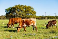 美丽的长角牛牛 图库摄影