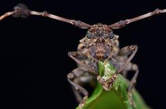 美丽的长角牛甲虫 免版税库存照片