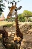 美丽的长颈鹿,泰国 免版税库存图片