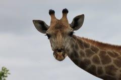 美丽的长颈鹿 免版税库存图片