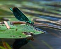 美丽的闺女, Calopteryx处女座 免版税库存图片