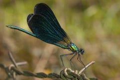 美丽的闺女(Calopteryx处女座) 免版税库存照片