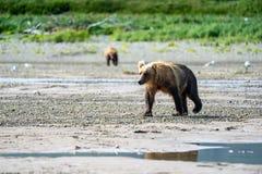 美丽的阿拉斯加的沿海棕熊北美灰熊在The Creek -卡特迈国立公园漫步 库存图片