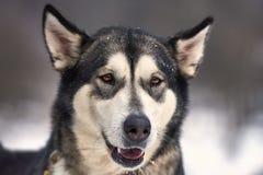 美丽的阿拉斯加的爱斯基摩狗 库存照片