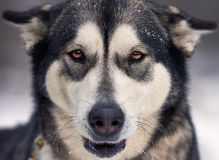 美丽的阿拉斯加的爱斯基摩狗 免版税库存图片