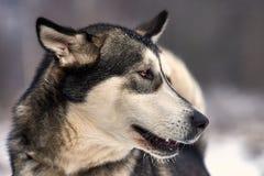 美丽的阿拉斯加的爱斯基摩狗 图库摄影