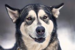 美丽的阿拉斯加的爱斯基摩狗 库存图片