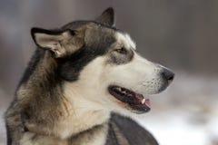 美丽的阿拉斯加的爱斯基摩狗 免版税库存照片
