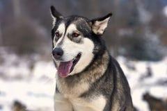 美丽的阿拉斯加的爱斯基摩狗 免版税图库摄影