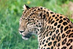 美丽的阿穆尔河豹子顶头短的纵向  免版税库存图片