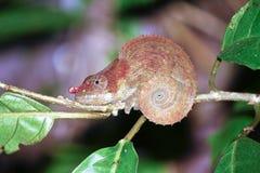 美丽的隐秘或青有腿的变色蜥蜴(Calumma crypticum) 图库摄影