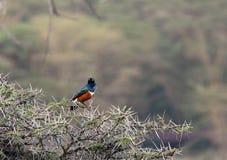 美丽的雄伟椋鸟坐金合欢树 免版税库存照片