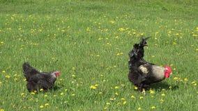 美丽的雄鸡和母鸡在开花领域,妻子啃跟随丈夫,生物食物 股票视频