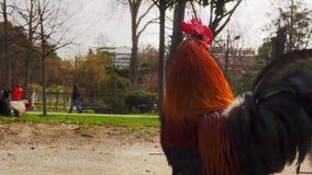 美丽的雄鸡画象  股票录像