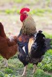 美丽的雄鸡 库存图片