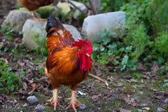 美丽的雄鸡 库存照片