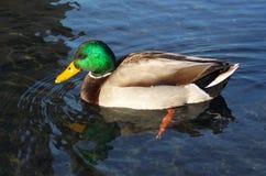 美丽的雄鸭野鸭 库存照片