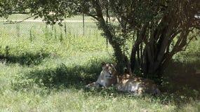 美丽的雌狮在树下 免版税图库摄影